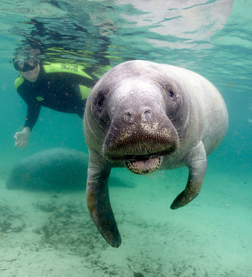 Swimming with the Manatees adventure