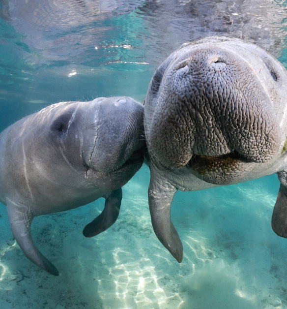 Crystal River, Florida Swimming with the Manatees